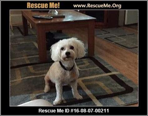 havanese rescue houston havanese rescue adoptions rescueme org