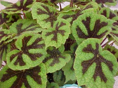 Tanaman Begonia Iron Cross begonia iron cross begonia masoniana buy it now
