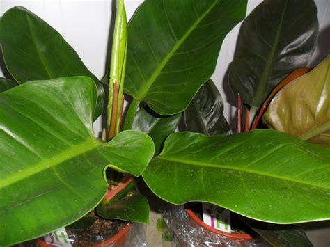 enfermedades de las plantas de interior problemas de las plantas de interior plantas ornamentales