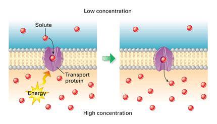 active transport   pmg biology