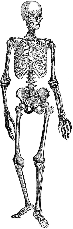 skeleton clipart human skeleton clipart etc