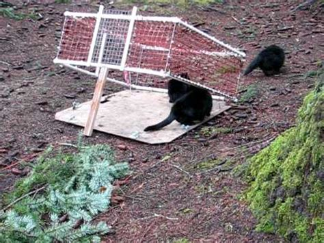 stray cat trap trapping feral cats avi youtube