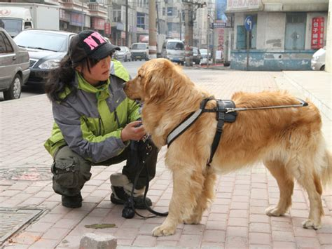 golden retriever guide dogs trainer s vision leads the way