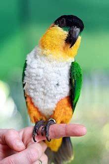baby parrot called caique
