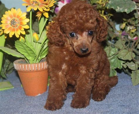 mini poodle for sale poodles for sale poodle breeders puppies for sale
