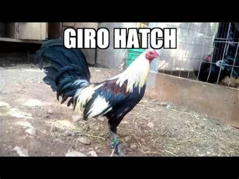 gallos de peleas de todas las razas todas la razas de gallos finos de pelea youtube