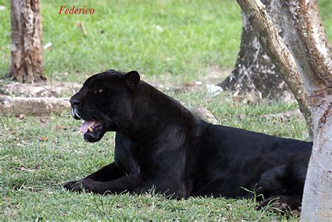 imagenes de un jaguar negro jaguar negro galer 237 as fotonatura org
