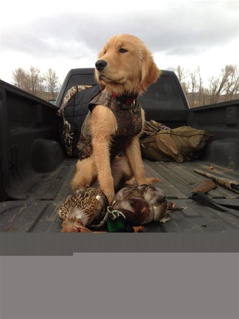 how to a golden retriever to hunt golden retriever used for pin by bailey