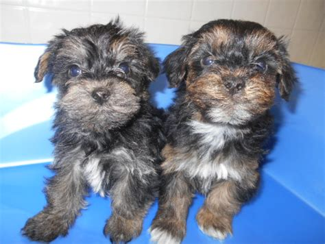 mlive puppies yorkie poo puppy stolen in targeted burglary at pet store mlive