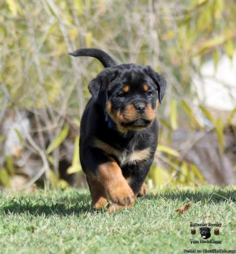 rottweiler puppies california akc german rottweiler puppies price 1800 00 for sale in moreno valley california