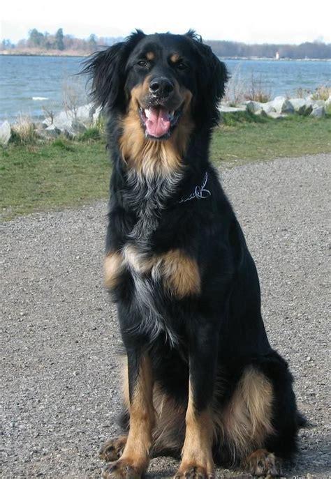 gordon setter therapy dog quot gordon setter australian shepherd mix quot google search