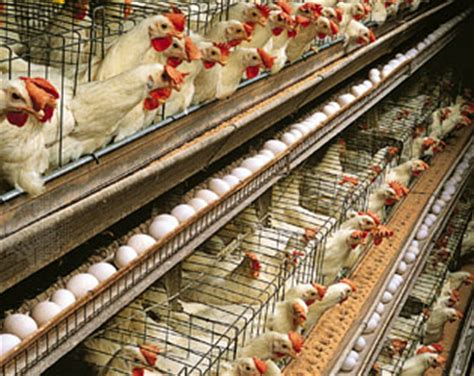 how chicken tractors can increase egg production and get poultry farming britannica com