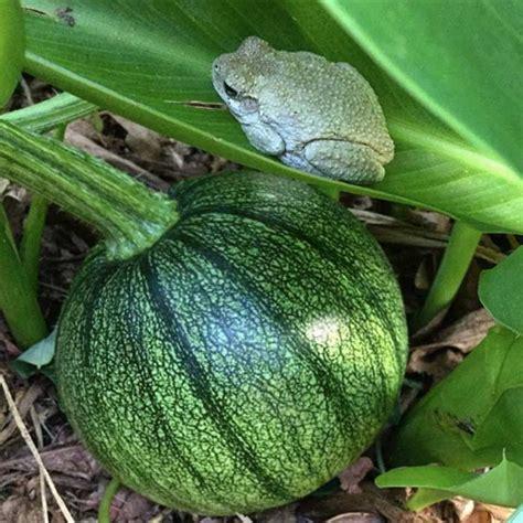 amazing pumpkin facts growjourney seeds   month