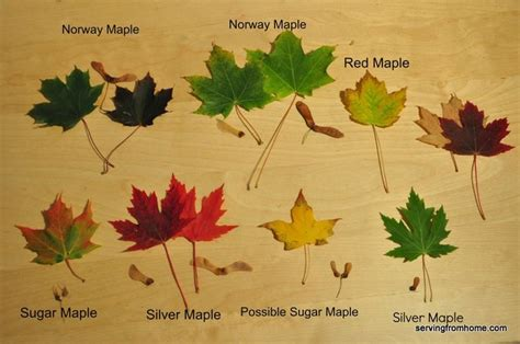 michigan trees a handbook of the and most important introduced species classic reprint books 17 best images about trees leaves on sweet