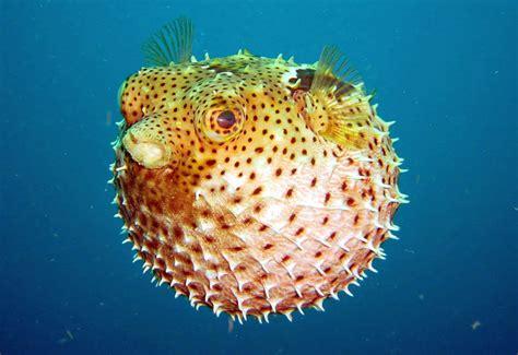alimentazione pesce pesce palla il suo veleno e l utilizzo alimentare