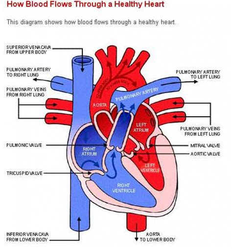 the heart and the human heart which is well label heart anatomy 183 anatomy