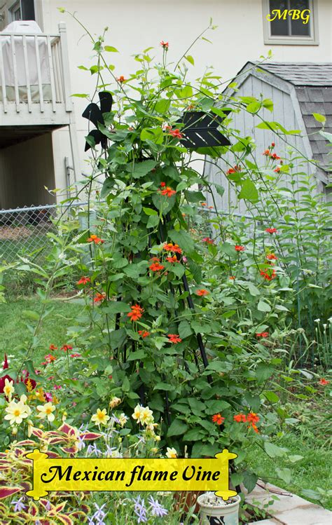 fast growing climbing plants for trellis mexican vine climbing vine for monarch butterflies