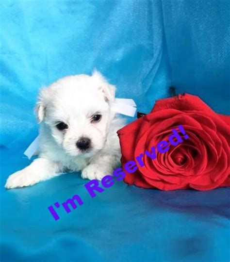 teacup puppies for sale in nc maltese puppies for sale in carolina maltese breeders in nc happytail puppies