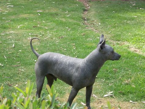 hairless puppy mexican hairless photo and wallpaper beautiful mexican hairless