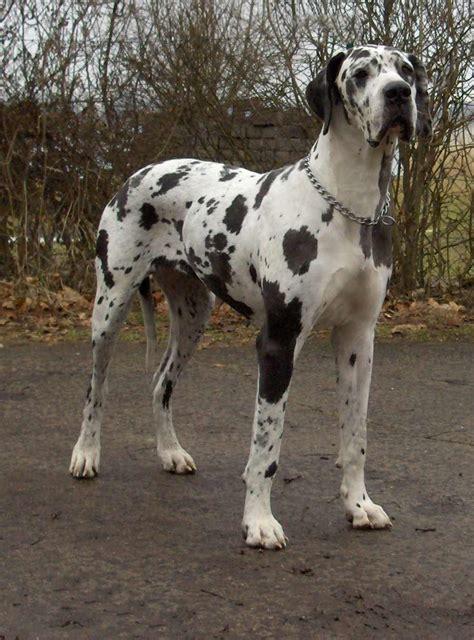 great dane dogs great dane dog breed info pictures petmd great dane dog breed 187 information pictures more