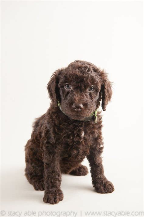 barbet puppies barbet water 6 week puppy by able photography able