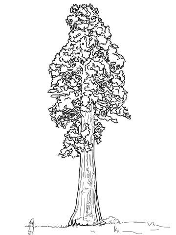 Giant Sequoia Sentinal Tree coloring page | SuperColoring.com