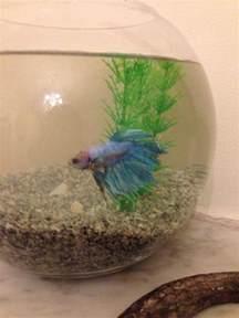 betta losing color my betta fish is losing colour my aquarium club