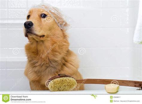 golden retriever puppy taking a bath apprehensive about a bath royalty free stock