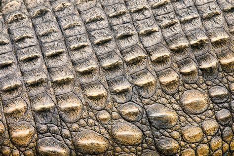 Alligator Skin by Evolution How Did The Armatae Bestia Evolve Studded