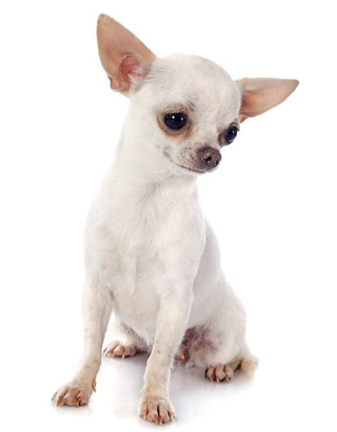 applehead chihuahua puppies information about the delicately apple chihuahuas