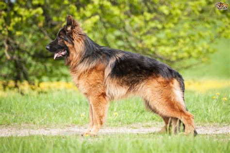 How To Stop German Shepherd From Shedding by Dealing With Your German Shepherd S Coat Shedding Cycle