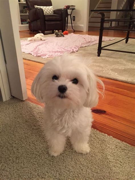 poodle mix dog hair cut best 25 maltipoo haircuts ideas on pinterest maltese