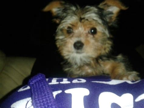 half maltese half yorkie 1000 images about nipper half maltese half yorkie on