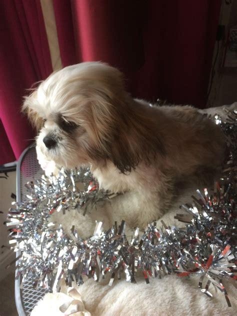 shih tzu white and gold k c reg shih tzu gold and white lancing west sussex