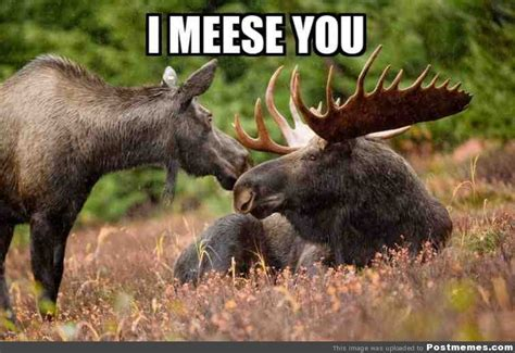 Moose Meme - post a funny t c friendly pic part iii the lol strikes