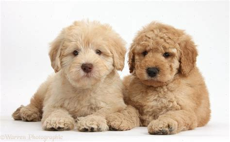 what is a golden retriever and poodle mix called golden retriever poodle mix