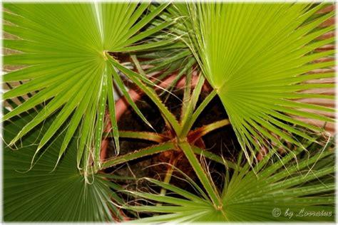 treppen haus 2723 palmen name gesucht washingtonia pflanzenbestimmung