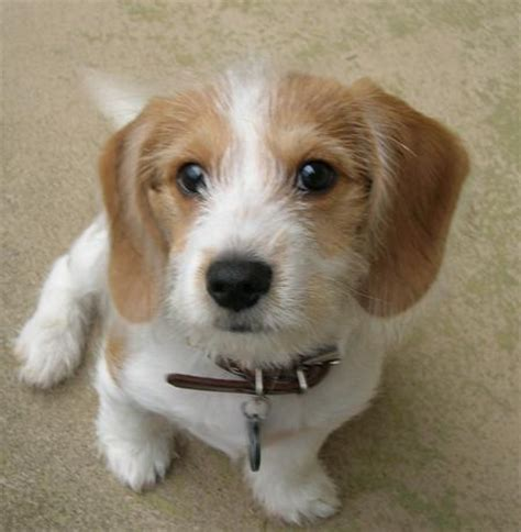 beagle and yorkie yorkie and beagle mix breeds picture