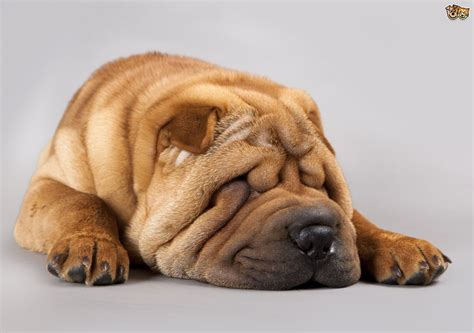 wrinkly puppies cleaning the wrinkles of dogs pets4homes