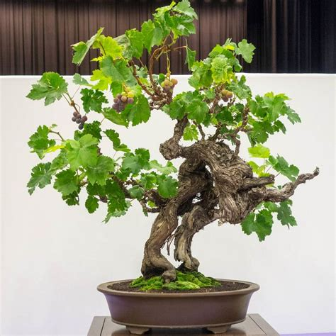 Cabernet Grapevine Bonsai It Or It by 17 Best Images About Grape Bonsai On Green