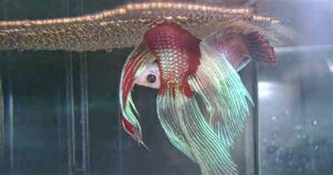 Makanan Ikan Cupang Kawin cara mengetahui tanda ikan cupang siap kawin