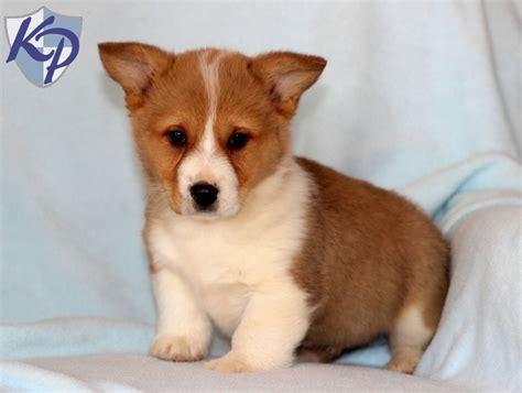 corgi puppy for sale corgi poodle mix breeds picture