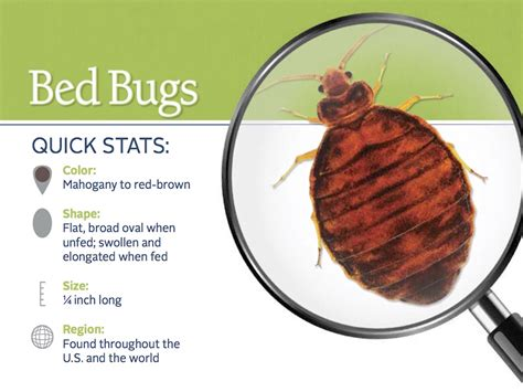 how do you check for bed bugs where do bed bugs come from identify bed bugs info