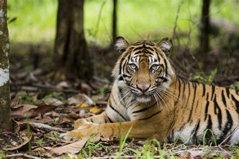 harimau putih prabu siliwangi misteri leuweung sancang garut dan legenda maung siliwangi