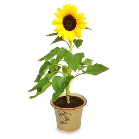 Jual Bibit Bunga Matahari Lokal jual benih bibit bunga matahari sunflower bonsai hias