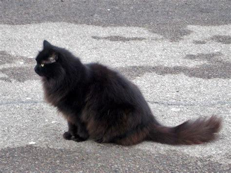 brown fluffy fluffy black cat brown flickr