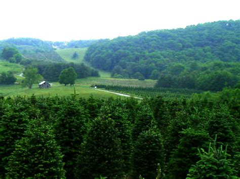 greene tree farm boone nc choose and cut christmas trees