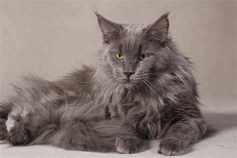 grey kitten wallpaper maine coon wallpapers wallpaper cave