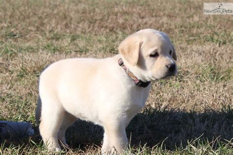 lab puppies for sale in va 7 3 for sale virginia autos post