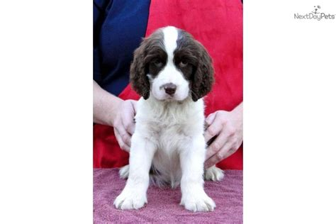 free puppies mobile al springer spaniel for sale for 850 near mobile alabama 43351187 f2b1